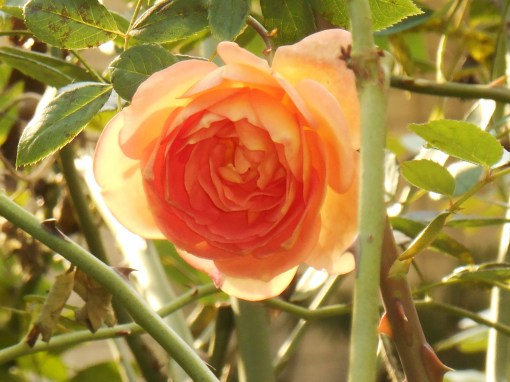 October 9, 2015 First Camellias 033