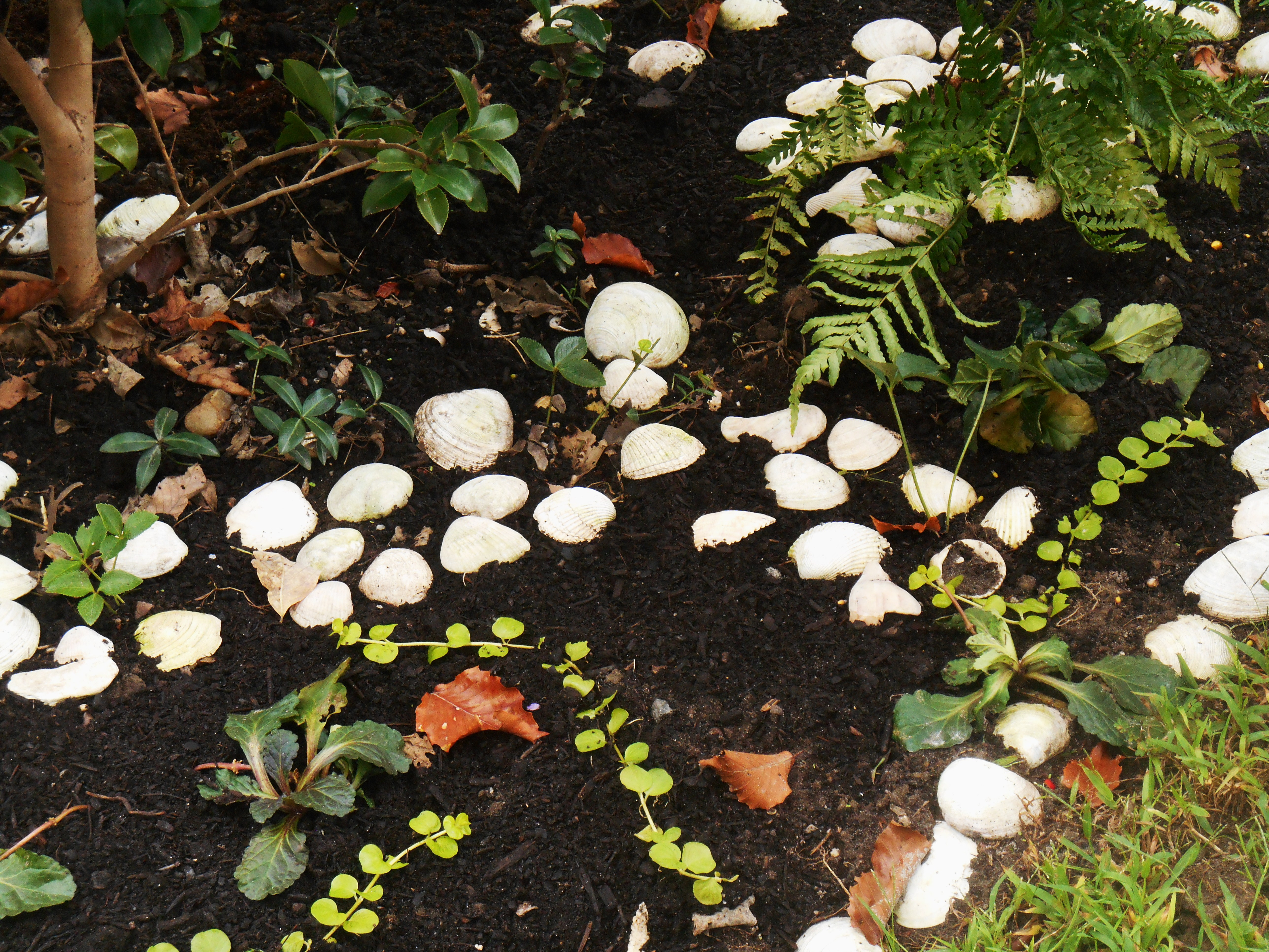 I began using shells in this bed to hold the compost and discourage digging by the