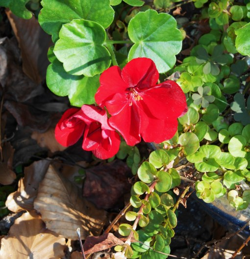 November 16, 2015 blooming 002