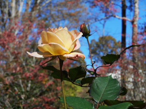November 16, 2015 blooming 006
