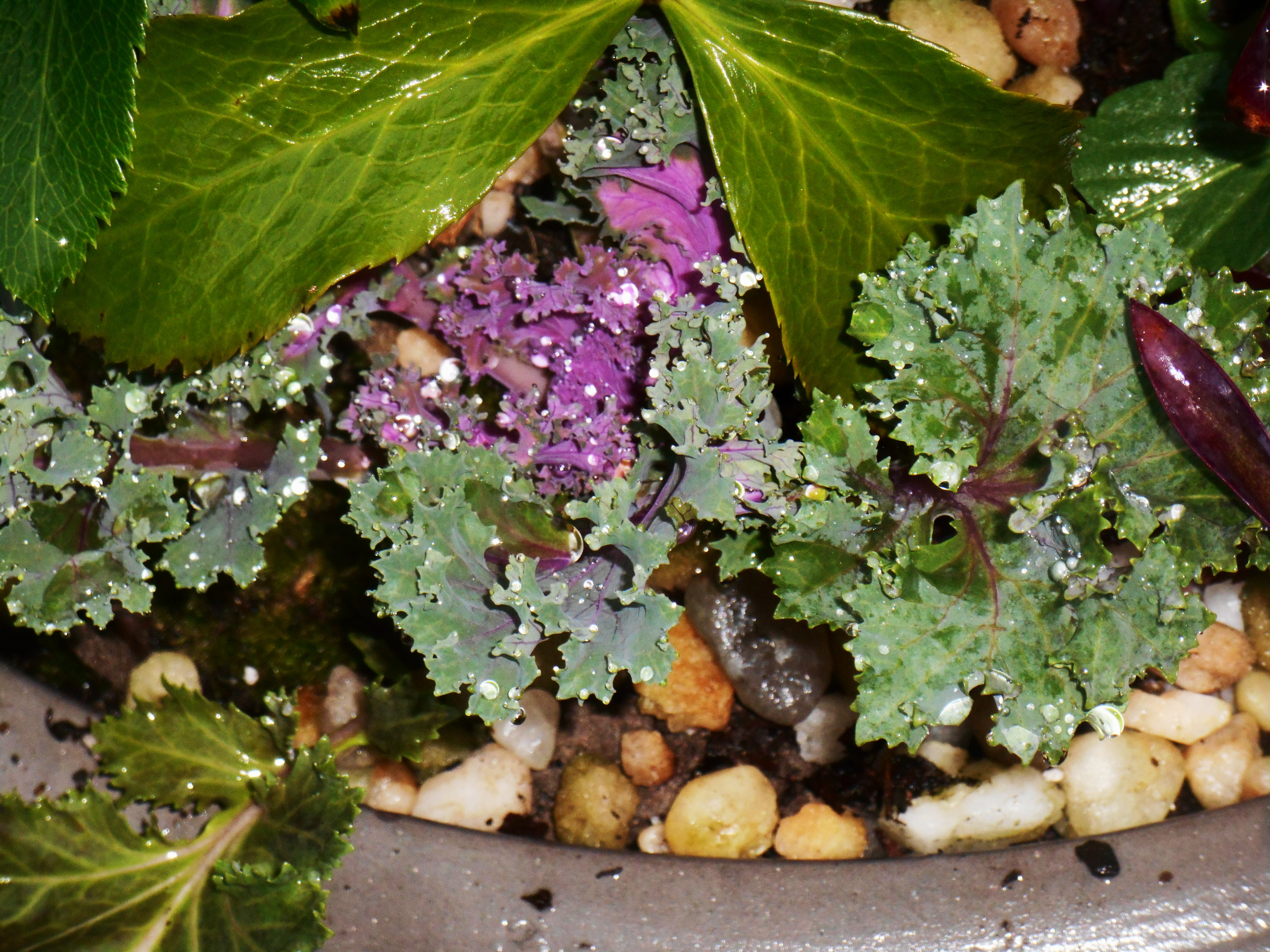 Ornamental cabbage with Heuchera in a newly planted pot.