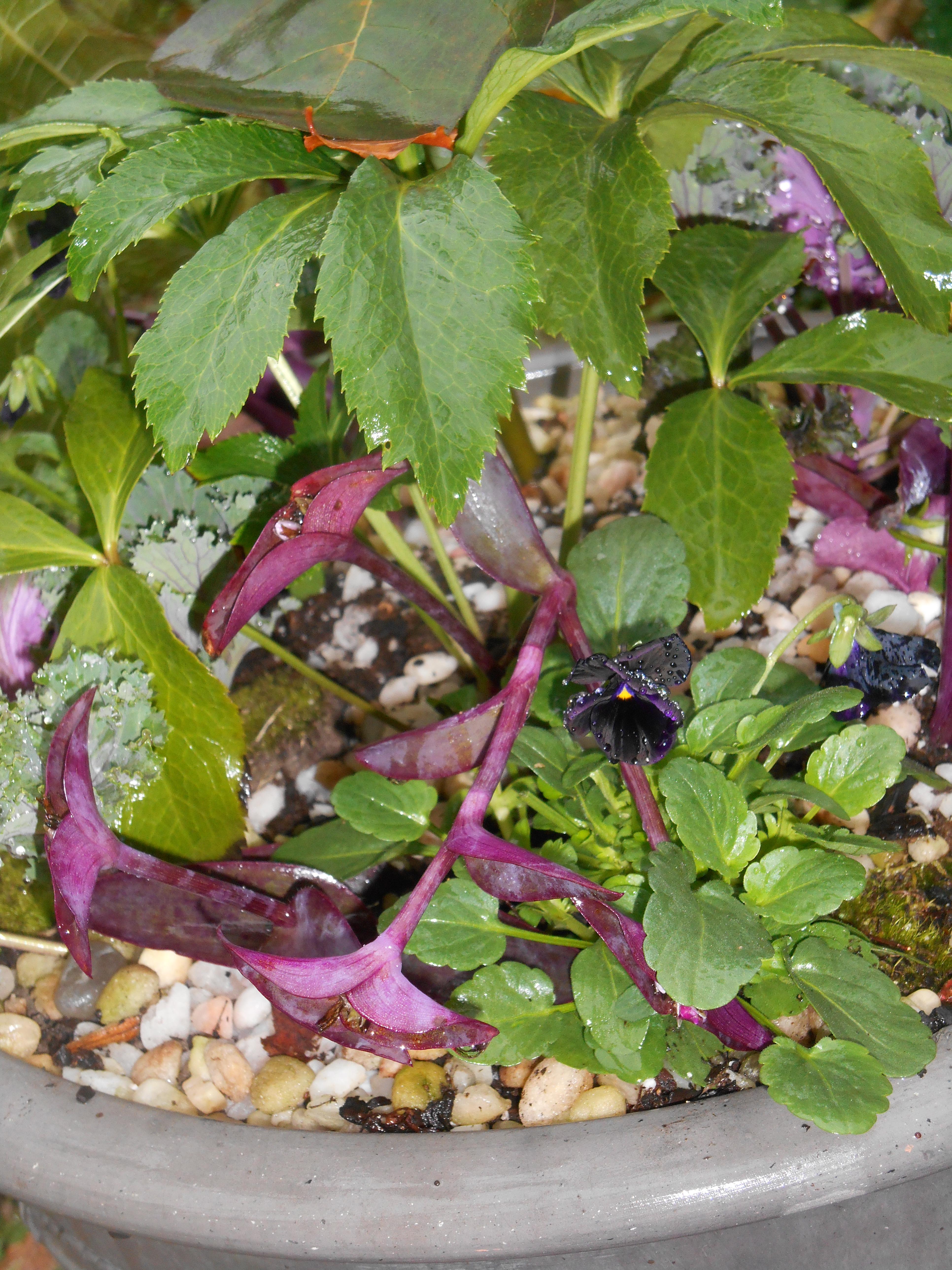 Newly planted Violas with Heuchera
