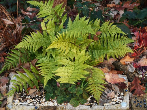 Autumn Brilliance fern, which will remain evergreen in our garden. New fronds in early spring open a rosy bronze before maturing to green.