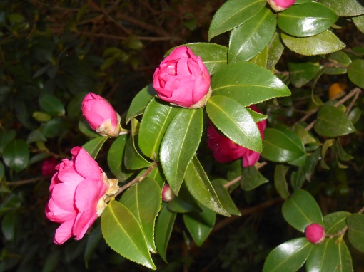 November 8, 2015 Camellias 001