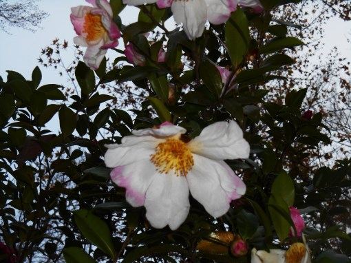 November 8, 2015 Camellias 004