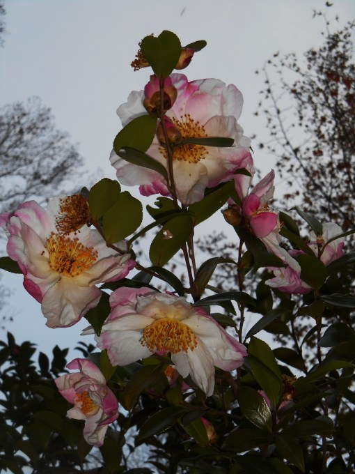 November 8, 2015 Camellias 005