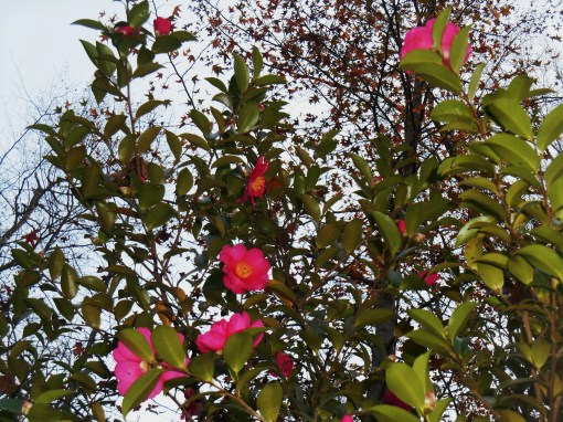November 8, 2015 Camellias 006
