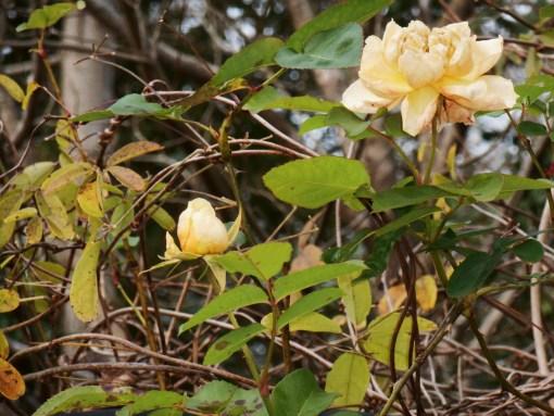 December 21, 2015 flowers 022