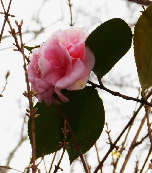 This Camellia normally blooms each spring. Do you see the open Forsythia blossom in the photo? If it is 80 here on Christmas Eve, as is forecast, I expect this shrub to begin leafing out by New Year's Day....