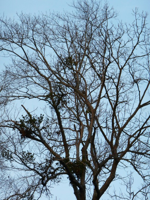 Mistletoe, growing in many trees, produces winter berries enjoyed by many birds. But it also offers sheltered areas for nesting, collects water when it rains and attracts a variety of insects.