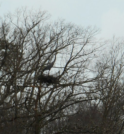 We found this Great Blue Heron on her nest, along College Creek this afternoon.