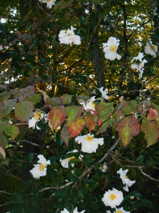 We have a mix of native and non-native shrubs in our 'bio-hedges.' Here, Asian Camellias grow alongside native Dogwood.