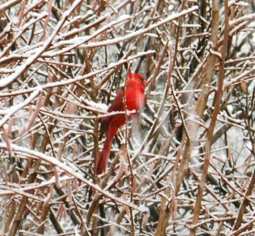 The cardinals love sitting in this hazelnut tree.