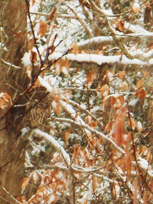 January 26: Chestnut colored leaves nearly hiding an owl, sheltering in the tree from heavy snowfall.