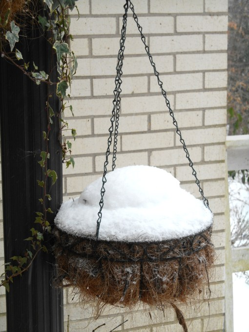 Somewhere under the snow sleep little Cyclamen tubers just transplanted into this basket last week....