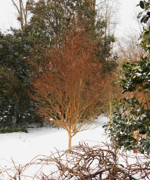 January 26: Chestnut bark of our Crepe Myrtles glows against the snow.
