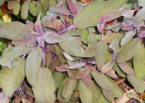 Purple Sage, still growing despite the cold.
