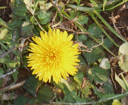 Yes, this dandelion is blooming in our garden today like a tiny sun ....