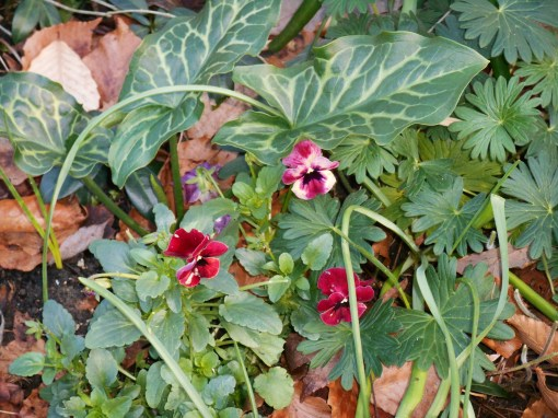 January 3, 2015 Arum with Violas in our garden