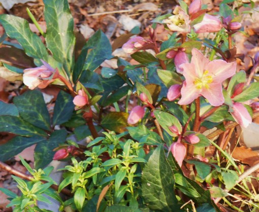 January 3, 2015 Winter flowers 002