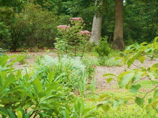 July 16, 2015 the Joe Pye Weed, planted in 2014, towers over this new perennial bed.