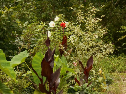 July 16, 2015 This is the farthest edge of the new border where Cannas end and a variegated Butterfly Bush is growing into its space.