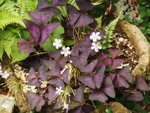July 28, 2015 Oxalis and Hardy Begonia share one of the border pots with a division of fern. These plants are all perennial, and should fill the pot nicely this summer coming.