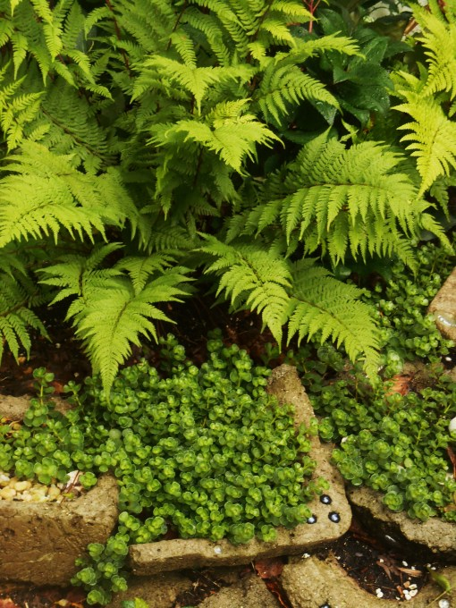 6/3/2015 This Autumn 'Brilliance' fern is now my 'go to' perennial. Believe it or not, it still looks this vibrant and lovely now as it did all summer. I grow it in all sorts of different light conditions and soils with success. If I could plant only one fern, this would be it. Here, a Sedum given to us by a friend skirts below it.