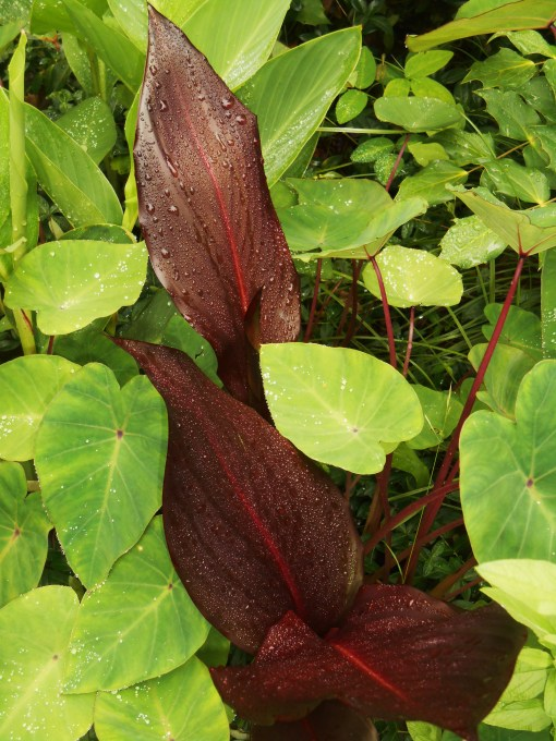 6/5/2015 A red leaf Canna with Colocasia 'Pink China' made a striking combination all season.