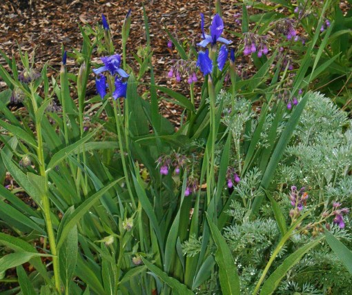 5/10/2015 I hope these lovely Siberian Iris will return in the spring. They were overshadowed