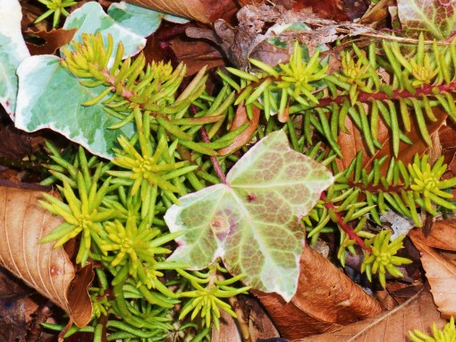 Sedum rupestre 'Angelina' shrugs off the cold without a single leaf withering. They may turn a bit rosy in the cold, but always recover. February 13 'Yellow Green' and February 7 'Fuzzy Wuzzy Brown.'
