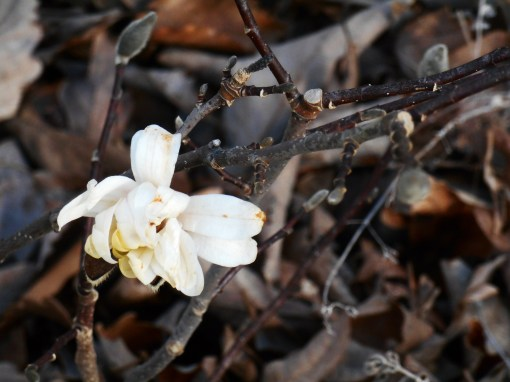 The Star Magnolia wants to break into bloom in the depths of our Virginia winter. February 11 Grey