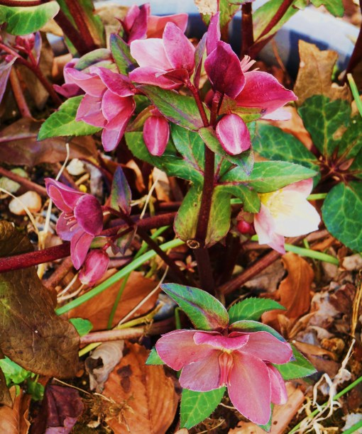 And finally, February 14, 'Hot Magenta' Hellebores give us that shot of color we crave so badly....