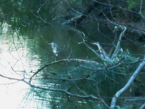 February 18 'Jungle Green' shadows surround this Great Blue Heron meditating on Halfway Creek.