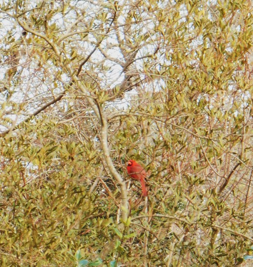 The cardinals feast on Wax Myrtle berries in our 'biohedge' all winter long.