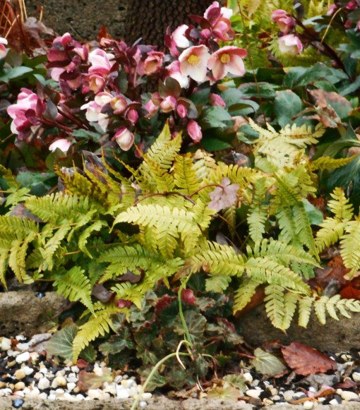 February 2016 Hellebores grow here with Autumn 'Brilliance' fern, which also remain evergreen through our winters.