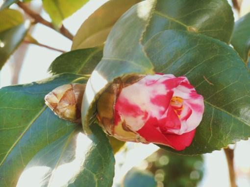 February 28, 2016 Camellia 003