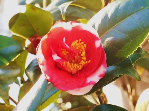 February 28, 2016 Camellia 004