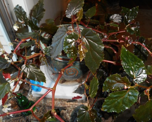 Another view of this wonderful Begonia.