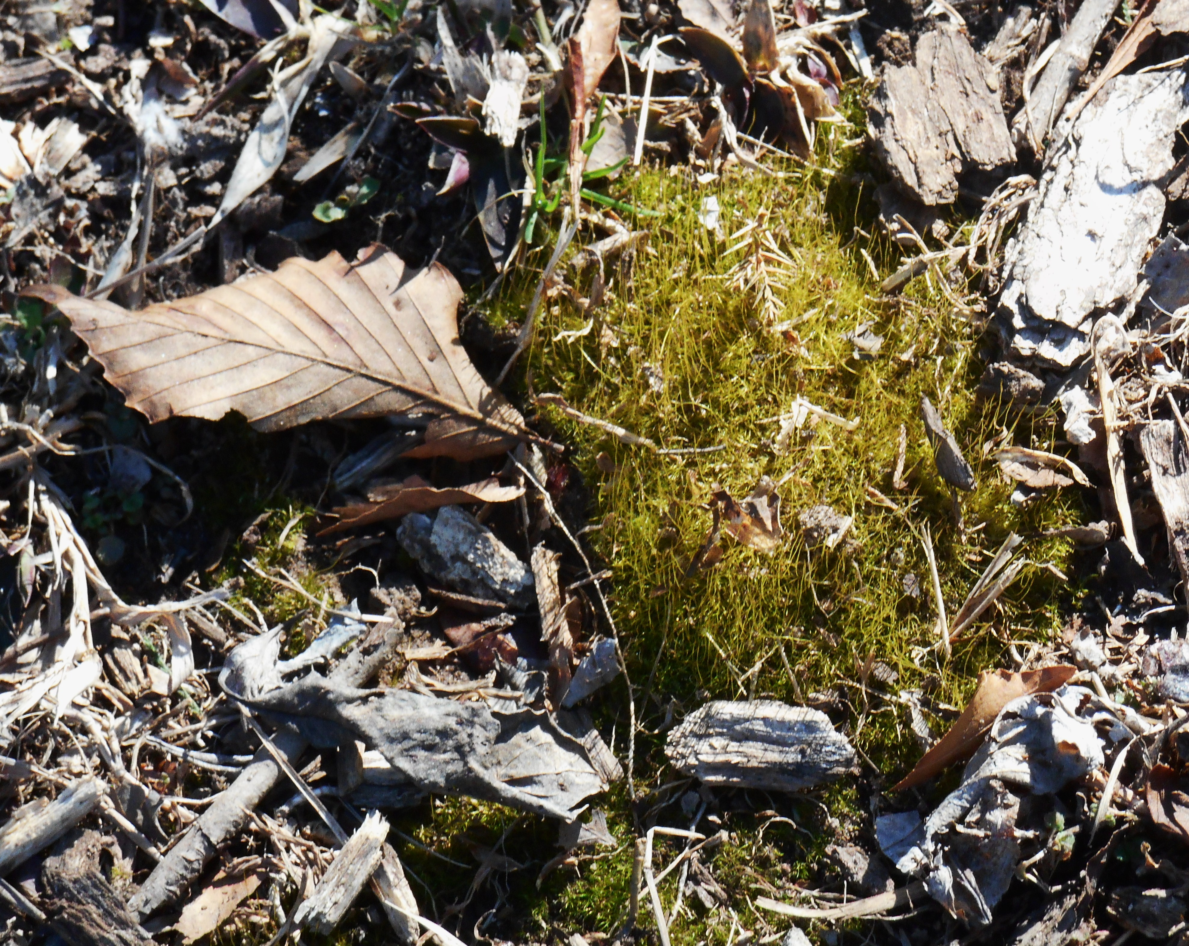 Volunteer moss in our garden ready for harvesting and replanting elsewhere