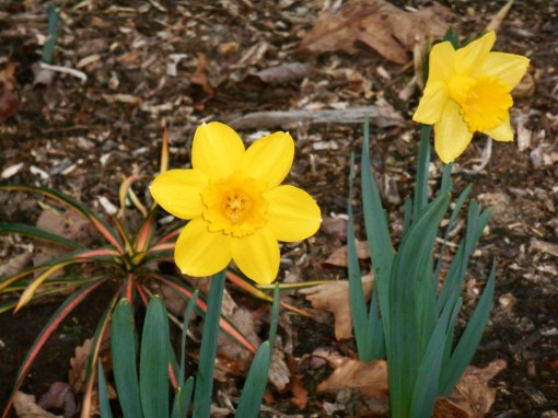 March 12, 2016 spring flowers 022