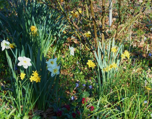 march 21, 2016 Daffodils 005