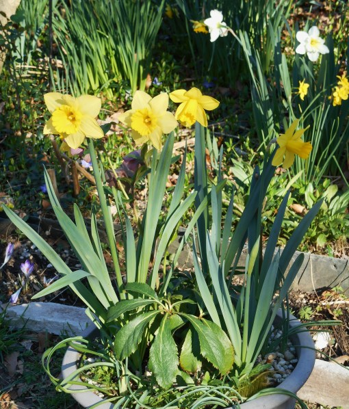 Not a vase, but a container planted up last fall with Daffodils, Hellebores, moss, and other spring bulbs has come into its own this week.