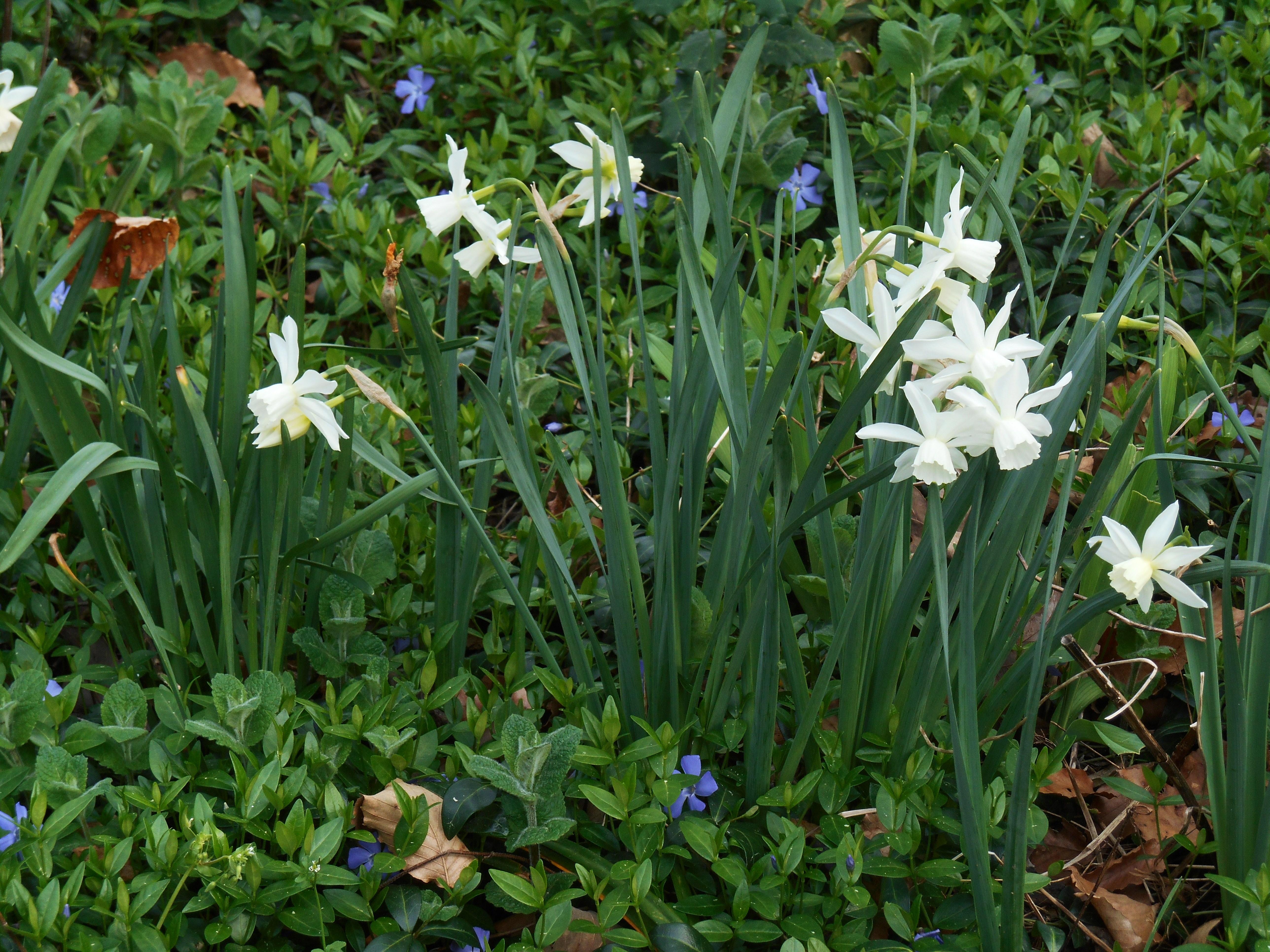 March 25, 2016 Daffodils 016