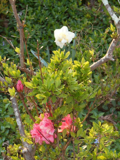 Azaleas once filed our front garden. In recent years, a growing herd of deer graze on what little remains.