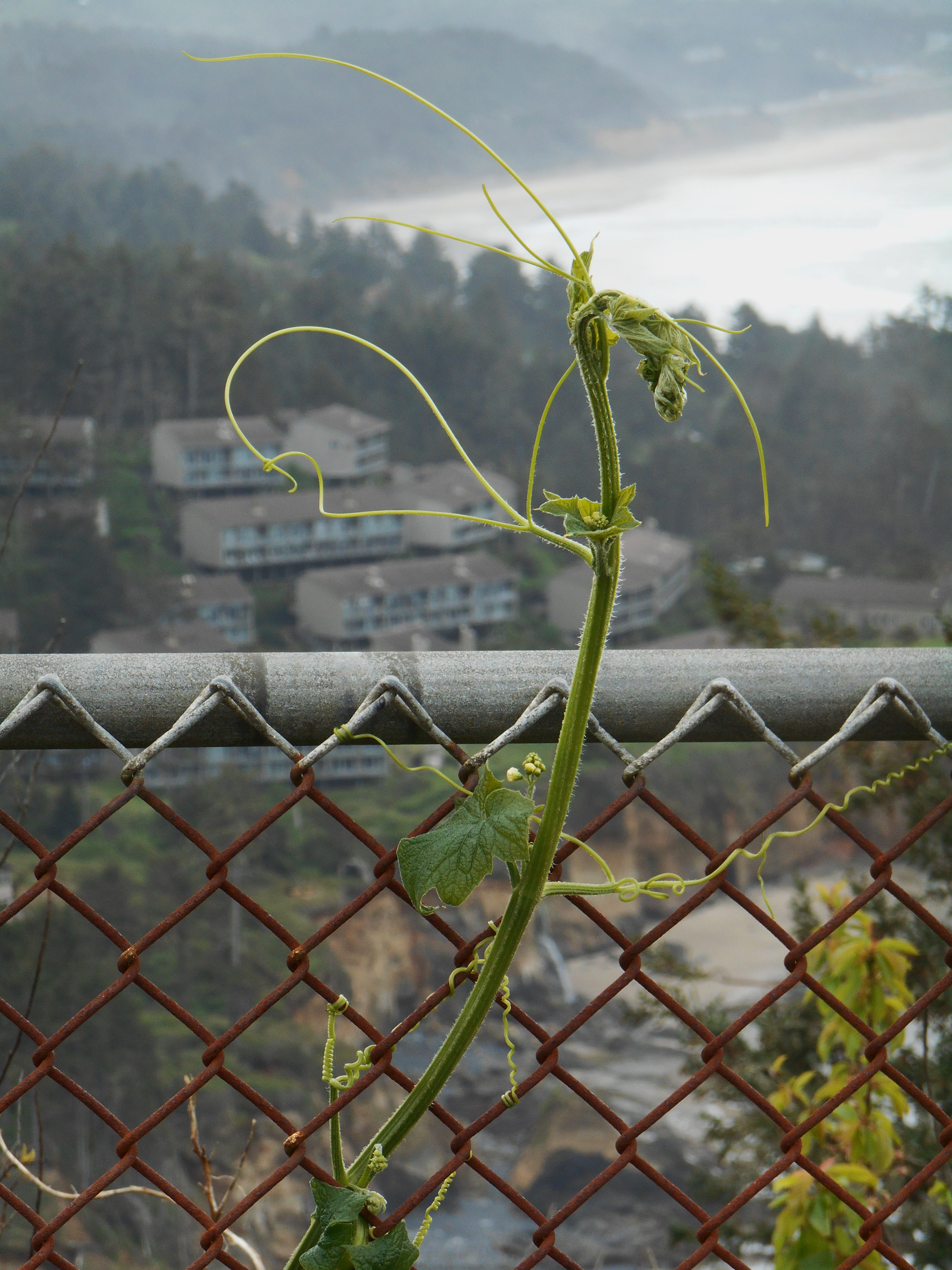 A wild cucumber vine growing at Cape Foulweather.