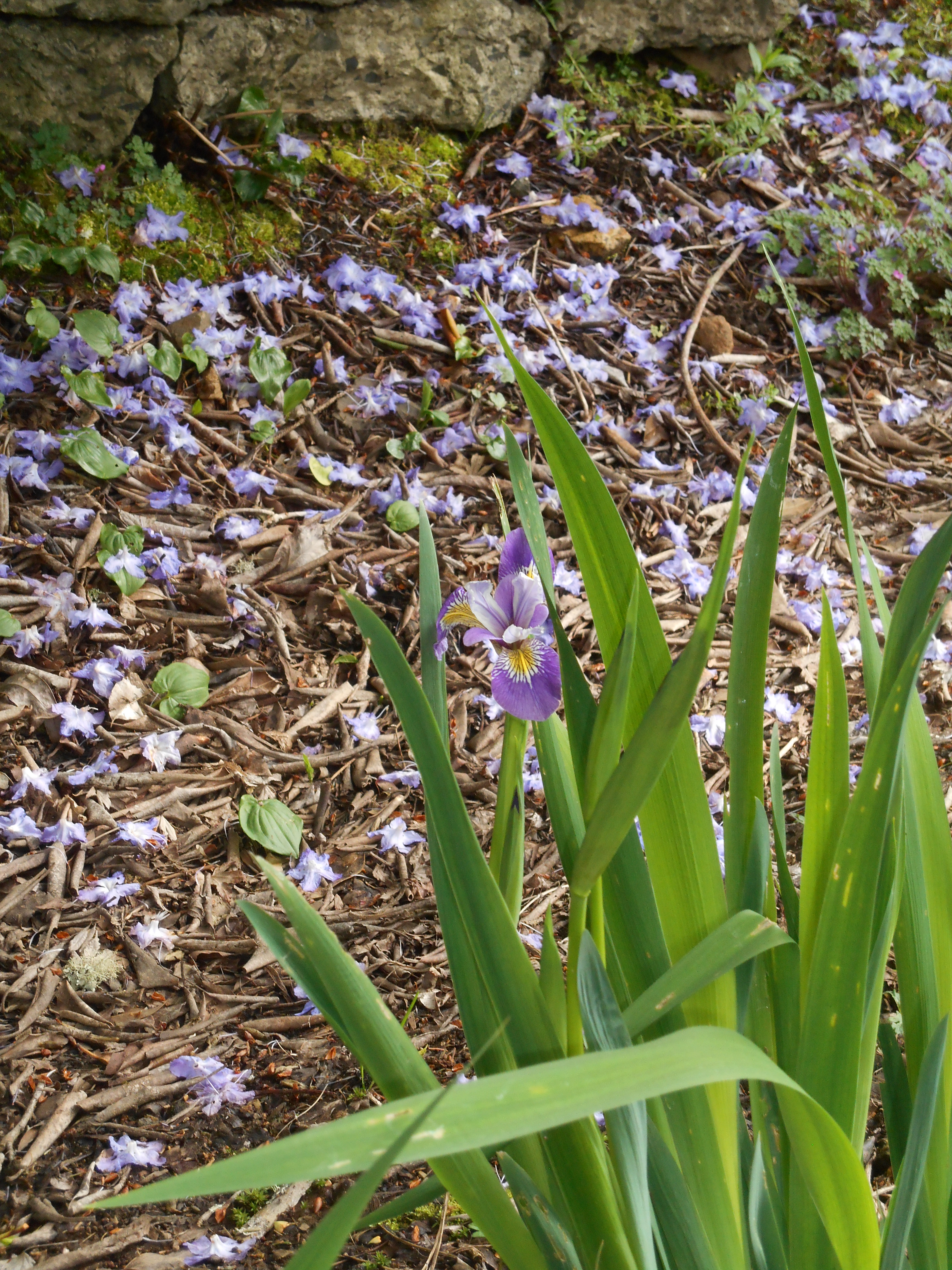 One of the earliest Irises in bloom at the Connie Hansen garden, perfectly matched to the Azalea behind it.