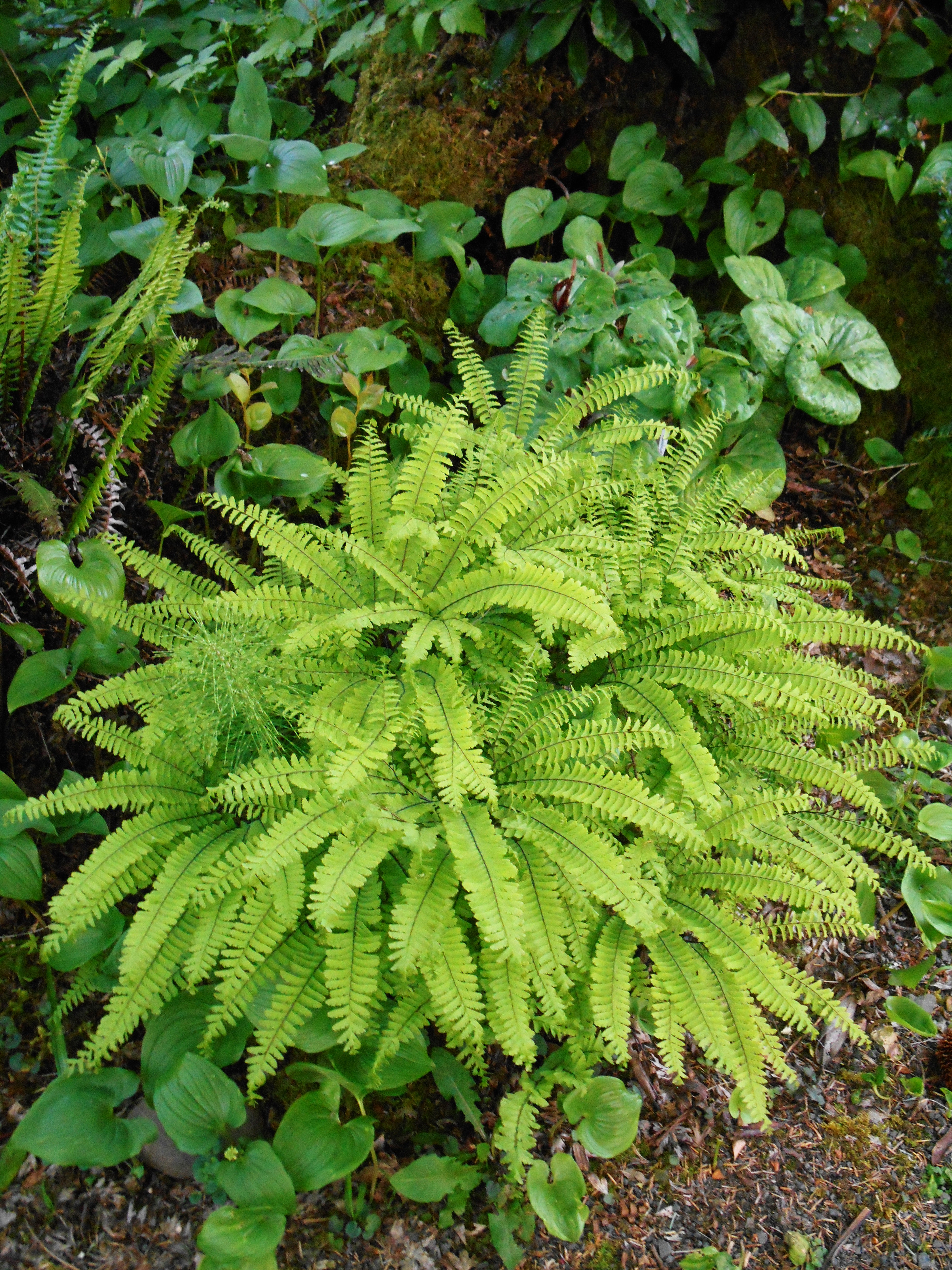 The Maidenhair fern native to Oregon isn't so very different from the Maidenhair fern we can grow in our garden. I will experiment with growing this beautiful fern.