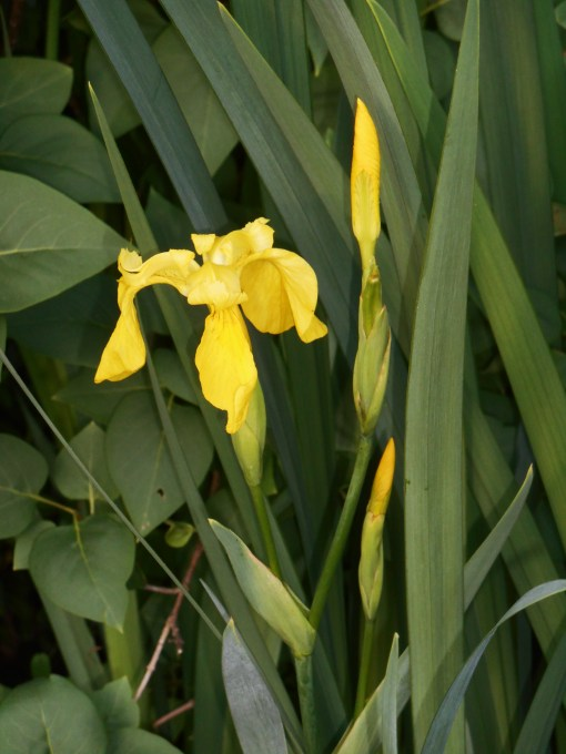 These yellow Iris grow wild along marshes and creeks in our area, as well as in our garden. They go on year after year with minimal care and maximum beauty.