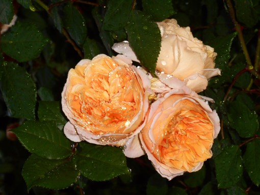 R. 'Crown Princess Margareta'